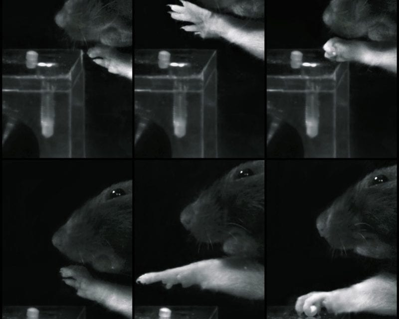 Proper Rehabilitation Sequence Enables Paralyzed Rats to Regain Grip