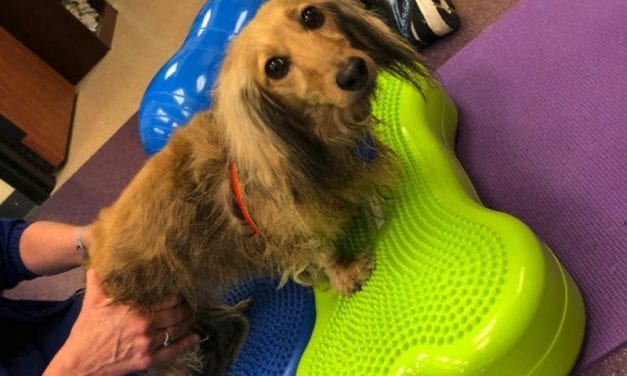 Rehab for Dogs? Some Owners Turn to Physical Therapy to Manage Chronic Pain and Avoid Costly Surgery