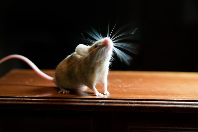 How Stimulating Mouse Whiskers Adds to Brain Injury Understanding